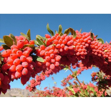 Heilpflanze Echte Berberitze, Gewöhnliche Berberitze Samen 1.95 - 3
