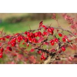 European barberry - simply Barberry Seeds 1.95 - 4