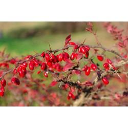 Σπόροι Βερβερίδα (Berberis vulgaris L.) 1.95 - 4