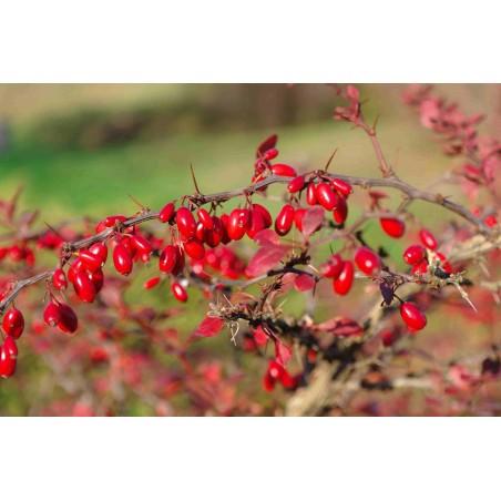 Berberis Frön medicinalväxt (Berberis vulgaris) 1.95 - 4