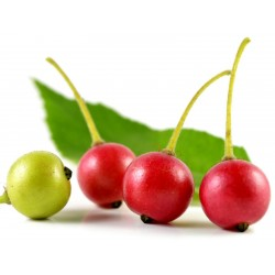 Σπόροι Τζαμαϊκανός κεράσι (Muntingia calabura) 1.95 - 3