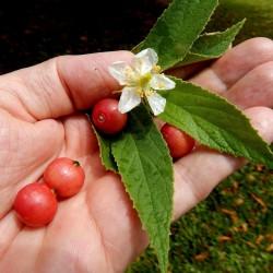 Sementes de Muntingia calabura 1.95 - 1