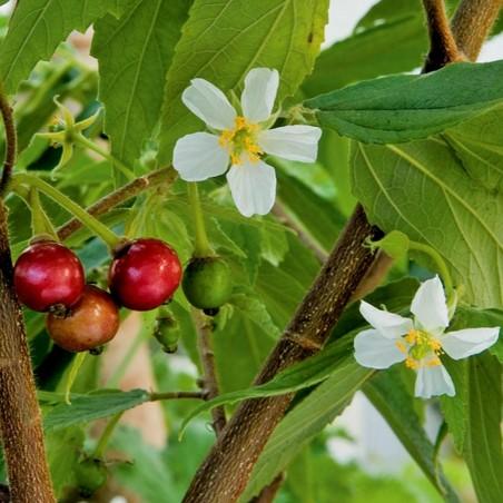 Graines de Jamaican Cherry (Muntingia calabura) 1.95 - 2