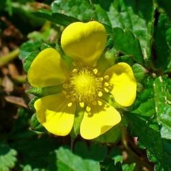 Σπόροι ινδική φράουλα (Duchesnea indica) 2.35 - 1
