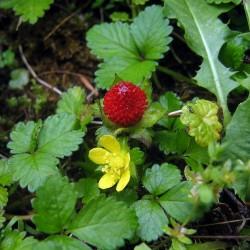 Graines de Fraisier des Indes, Fraisier de Duchesne, Faux-fraisier 2.35 - 2