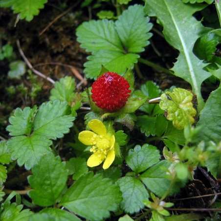 Skensmultron Frön (Duchesnea indica) 2.35 - 2