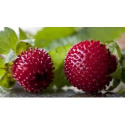 Graines de Fraisier des Indes, Fraisier de Duchesne, Faux-fraisier 2.35 - 3