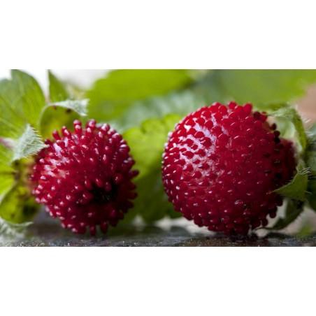 Mock strawberry Seeds 2.35 - 3