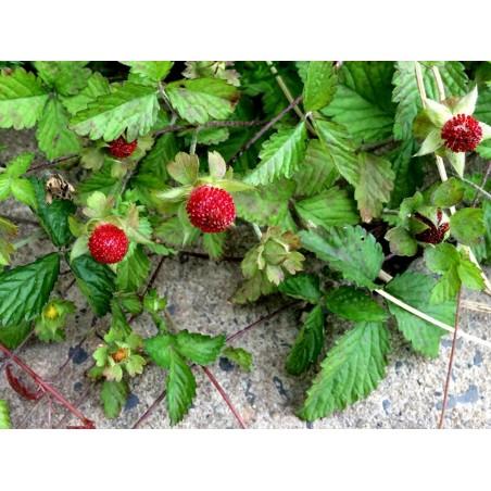 Semillas de falsa fresa o fresa india 2.35 - 4