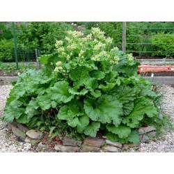 """Rhubarb Seeds """"Victoria"""" 1.85 - 2"""