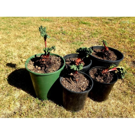 Bourbon Vanilla Seeds (Vanilla planifolia)