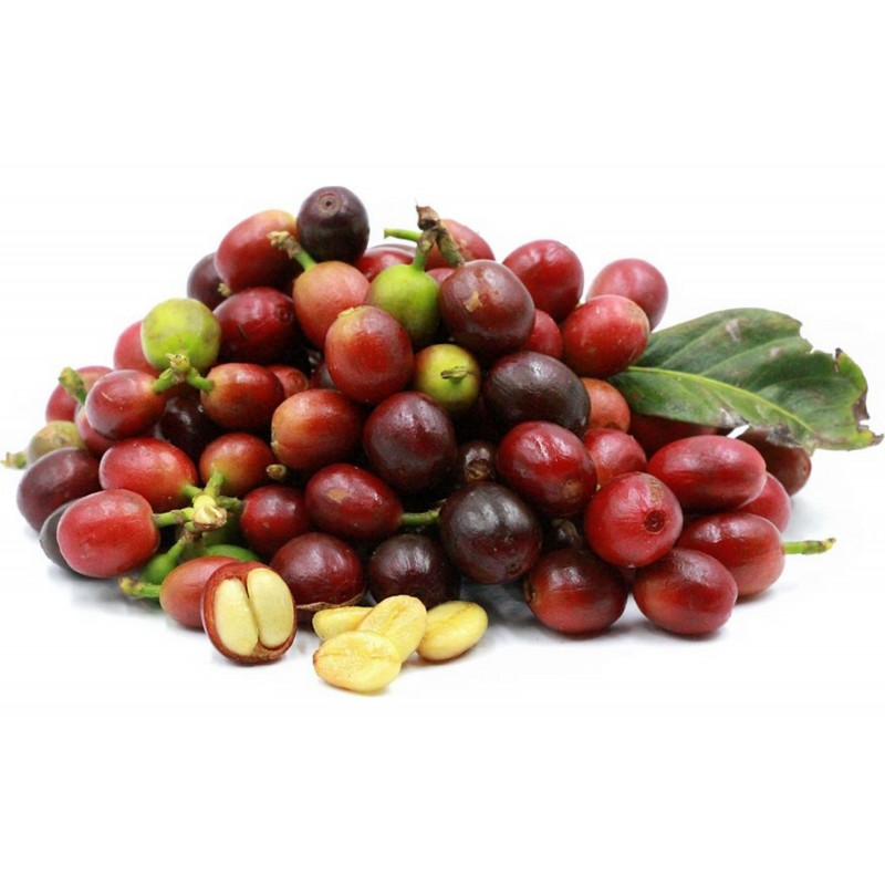 Semillas de cafeto arábigo (Coffea arabica) 2.55 - 1