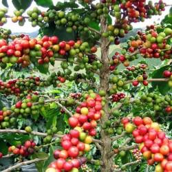 Semillas de cafeto arábigo (Coffea arabica) 2.55 - 2