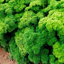 Sementes de Salsa (planta) ''Mooskrause 2'' 1.55 - 1