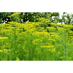 Herb Dill Bouquet Seeds 1.6 - 2