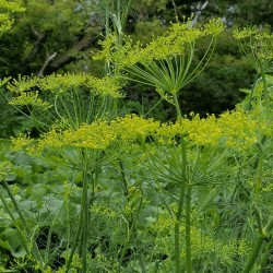 Herb Dill Bouquet Seeds 1.6 - 3