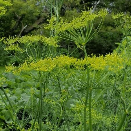Sporoi Anēthos (Anethum graveolens) 1.6 - 3