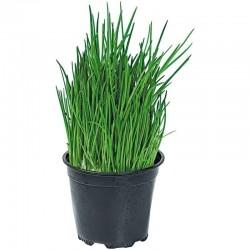 Семена Лук скорода́, шни́тт-лук (Allium Schoenoprasum) 2.35 - 2