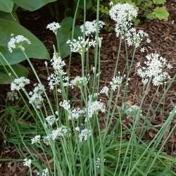 Chives Seeds (Allium Schoenoprasum) 2.35 - 3