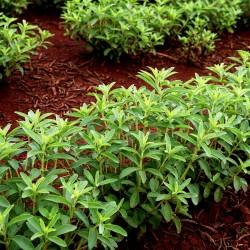 Stevia Στέβια σπόρων φαρμακευτικού φυτού 1.9 - 1