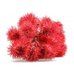 Graines Ricin Rouge (Ricinus communis) 1.85 - 7