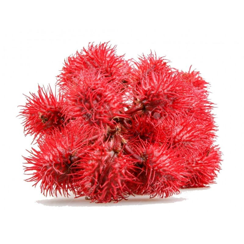 Semi di Ricino (Ricinus communis) 1.85 - 7