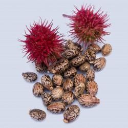 Graines Ricin Rouge (Ricinus communis) 1.85 - 1