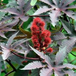 Σπόροι Φασόλι καστόρων (Ricinus Communis) 1.85 - 2