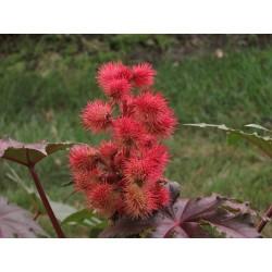 Graines Ricin Rouge (Ricinus communis) 1.85 - 3