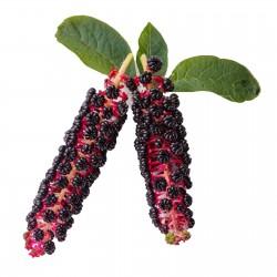 Σπόροι Φυτολάκα η αμερικανική (Phytolacca americana) 2.25 - 8
