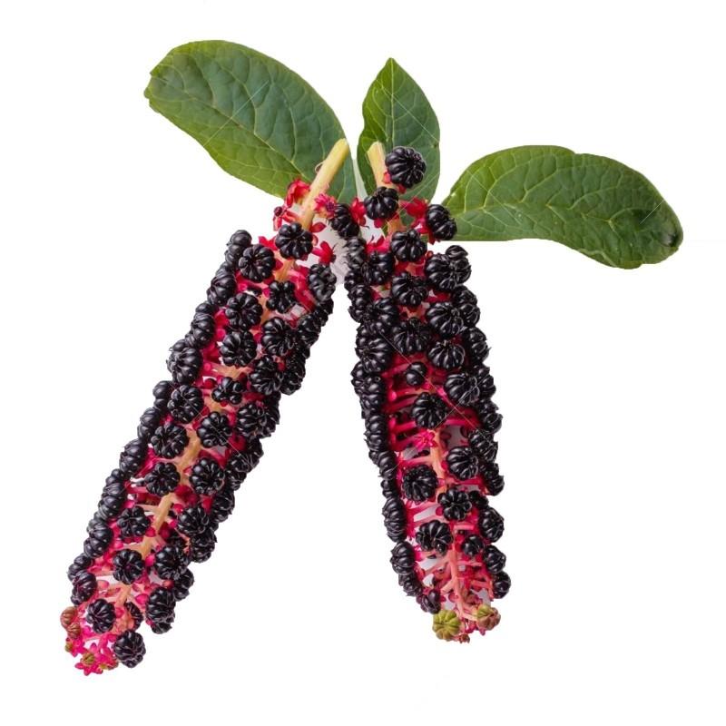 Vinobojka Seme (Phytolacca Americana) 2.25 - 8