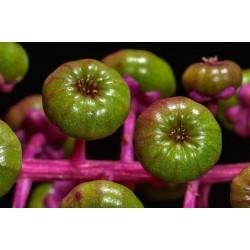 Semillas de Ombú Phytolacca Americana 2.25 - 5