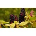 Black Amaranth Seeds (Amaranthus)