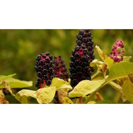 Crni Amarant ili Scir Seme (Amaranthus cruentus)