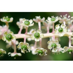 Semi di Fitolacca Phytolacca Uva Turca Cremesina (Phytolacca Americana) 2.25 - 7