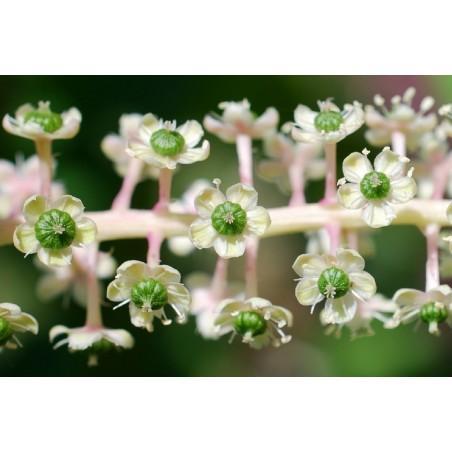 Graines de AMARANTES NOIRE ou AMARANTHES NOIRE (Amaranthus)