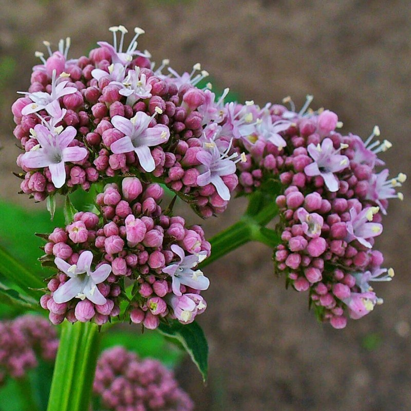 Σπόροι Βαλεριάνα (Valeriana officinalis) φαρμακευτικού φυτού 2.05 - 1