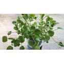Mexikanische CHIA Samen (Salvia hispanica)