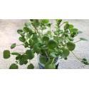 Semillas de CHÍA (Salvia hispanica L.)