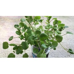 Semi di Crescione d'acqua - pianta medicinale 2.45 - 5