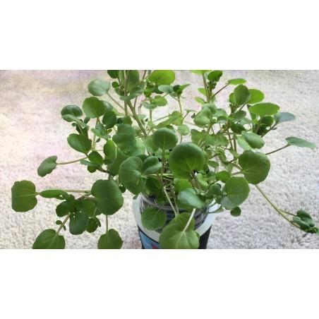 Sementes de Rorippa nasturtium-aquaticum 2.45 - 5