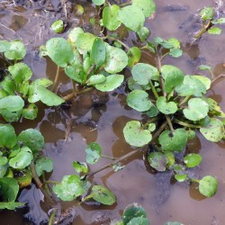 Echte Brunnenkresse Samen, Wasserkresse - Heilpflanze 2.45 - 2