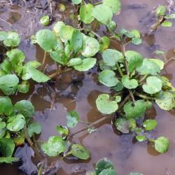 Σπόροι Νεροκάρδαμο - φαρμακευτικων φυτων 2.45 - 2