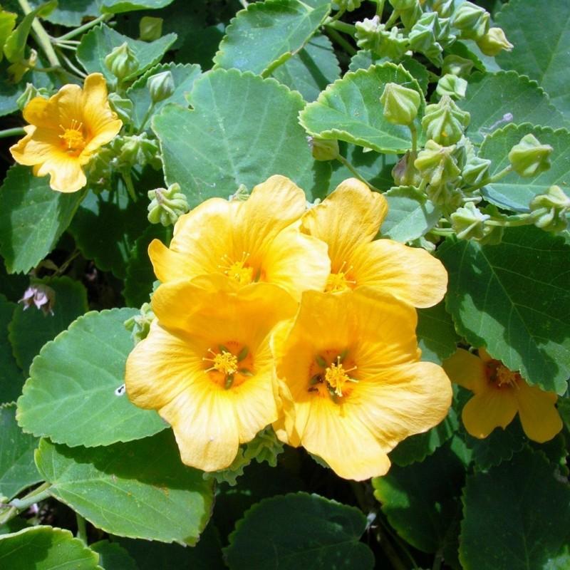 Semillas de BALA (Sida cordifolia) 1.95 - 2