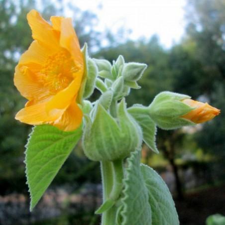 Sandmalve - Sidakraut Samen Heilpflanze Ephedrin Pflanze 1.95 - 1
