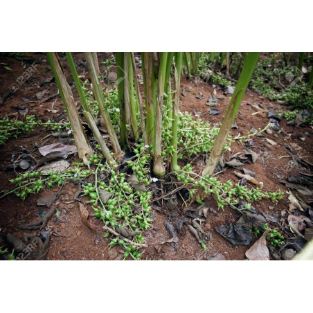 Dummela - Bitter vattenmelon frön (Gymnopetalum integrifolium)