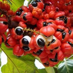 Guarana Frön (Paullinia cupana) 5 - 1