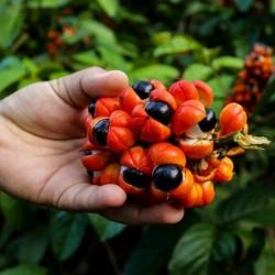 Guarana Frön (Paullinia cupana) 5 - 2