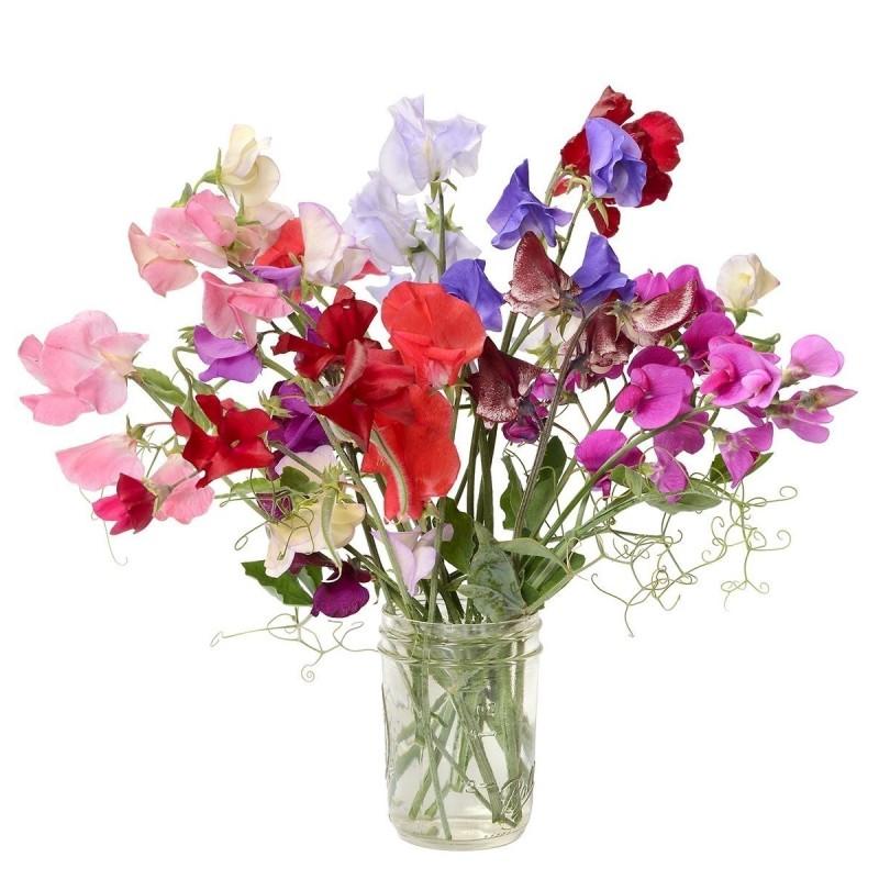 SWEET PEA Seeds (Lathyrus odoratus) 1.55 - 1