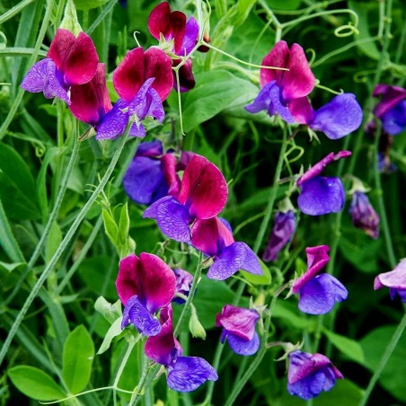 SWEET PEA Seeds (Lathyrus odoratus) 1.55 - 2